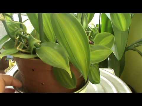 Орхидея Ваниль вариегатная в домашних условиях.