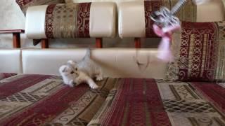 Мальчик скоттиш фолд А шотландский вислоухий котенок