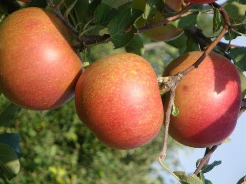 Прогулка по саду сор Алдас, Белорусское сладкое Поспех Алеся Лигол | вкусное | яблонь | яблони | яблоко | лучшие | сорта | самое | алдас | сорт