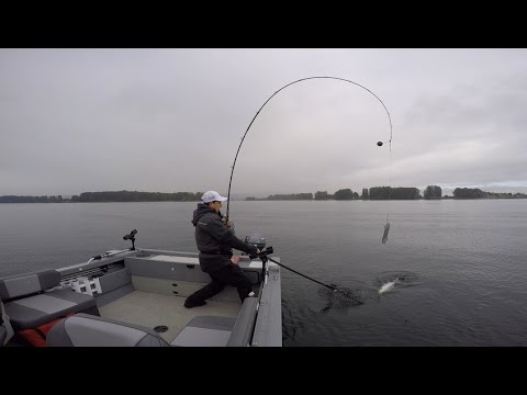 Pro troll/Superbait Fall Chinook on the Columbia River in Portland, Oregon Sept. 3 2016.