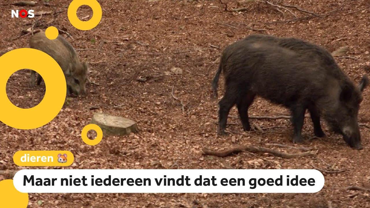 Wilde zwijnen op de Veluwe worden afgeschoten
