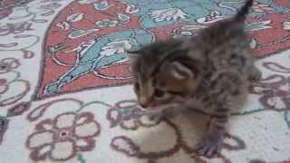 котенок после еды