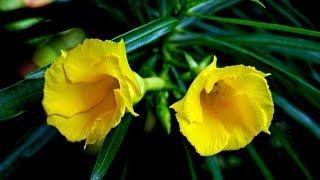 शुगर,घुटनो का दर्द ,पेट दर्द ,कमर दर्द ,बीपी को जड़ से गायब करना है तो कनेर के फूल और पत्ते