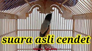 Suara Asli Burung Cendet Cendet 1 Isian The Original Voice Of Long Tailed Shrike