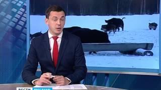 В Ярославской области браконьеры убили двух кабанов(, 2016-02-01T09:53:49.000Z)