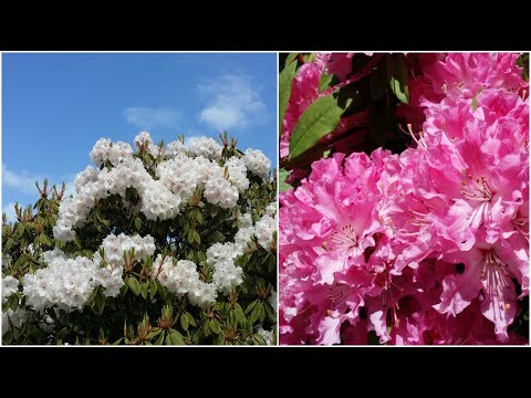 Beautiful Rhododendron Garden - Camellias, Cherry blossoms - Melbourne Dandenong Ranges