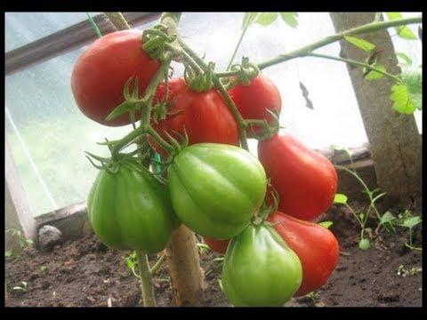 Отзыв на томаты - Японский трюфель.