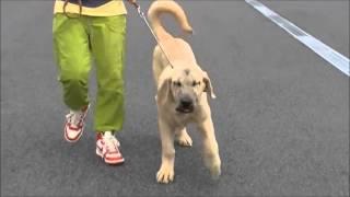 大型犬の情報はこちらから http://www.masaki-collection.jp/puppy/inde...