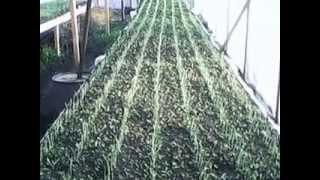 Выращивание зеленого лука из семян Грин Баннер.