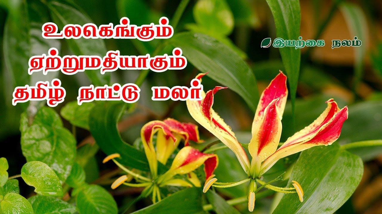 Gloriosa superba gloriosa lily in tamil gloriosa lily gloriosa gloriosa superb gloriosa lily gloriosa flower gloriosa plant tamil maruthuvam izmirmasajfo