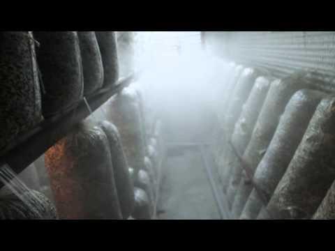 вешенка вентиляция в грибнице