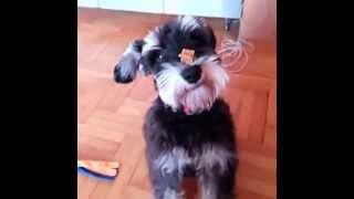 Ulix Miniature Schnauzer Doing Trick - The Nose Trick - Chapi Sa Nosa