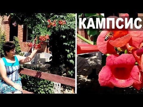 Кампсис в саду и на даче Декоративные растения для начинающих