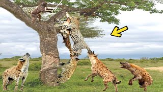 Hyenas vs Leopard, When the Hunter Becomes Prey. God Cannot Help Leopard Escaping Hyena