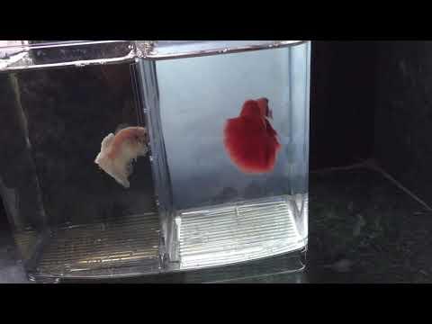 fighter-fish-(-white-vs-red-)-half-moon-🌓-betta-fish-imported-[sonushona]
