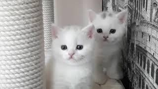 белые британские котята с питомника Мирасинель