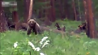 Bear Charging Hunters Stopped Dead In Tracks thumbnail