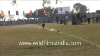 Dogs being raced in rural Punjab!