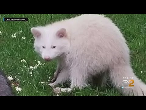 Deuce - Rare Albino Racoon Spotted In New York