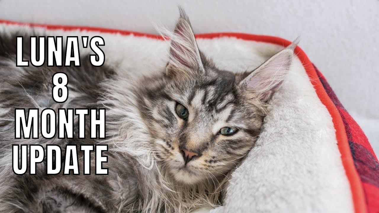 Maine Coon Kitten Luna's 8 Month Update