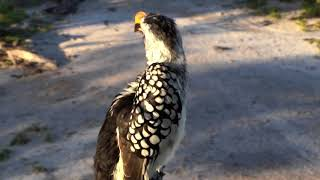 Djuma Private Game Reserve Live Stream:Yellow-billed Hornbill