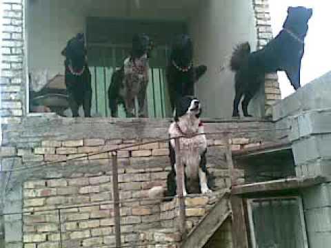 سگ قهدریجان