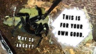 A tarantula keeper's WORST NIGHTMARE !!!