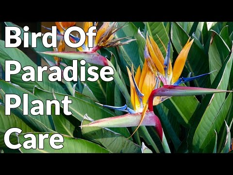 Bird Of Paradise Plant Care Tips / Joy Us Garden