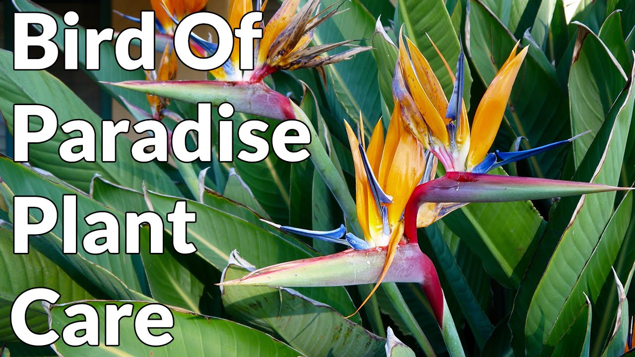 Bird Of Paradise Plant Care Tips Joy Us Garden Youtube