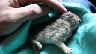 Baby wild rabbit/bunny found outside in 33 degrees. Cute baby animal...see follow up videos