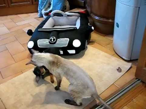 Той терьер против корниш-рекса Russian toy terrier VS Cornish Rex
