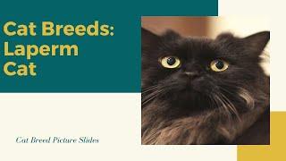 La perm Slides  Cat Breeds