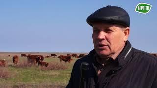 Калмыцкий скот - это дикий скот