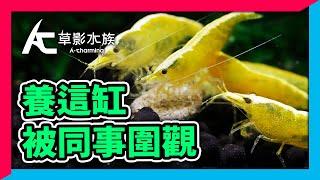 最有人氣8種小蝦,通通養在辦公室小蝦缸|AC草影水族 [ CC字幕 ]