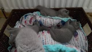 British Shorthair. This is the time for a quick wake-up*Calmcat cattery British Shorthair