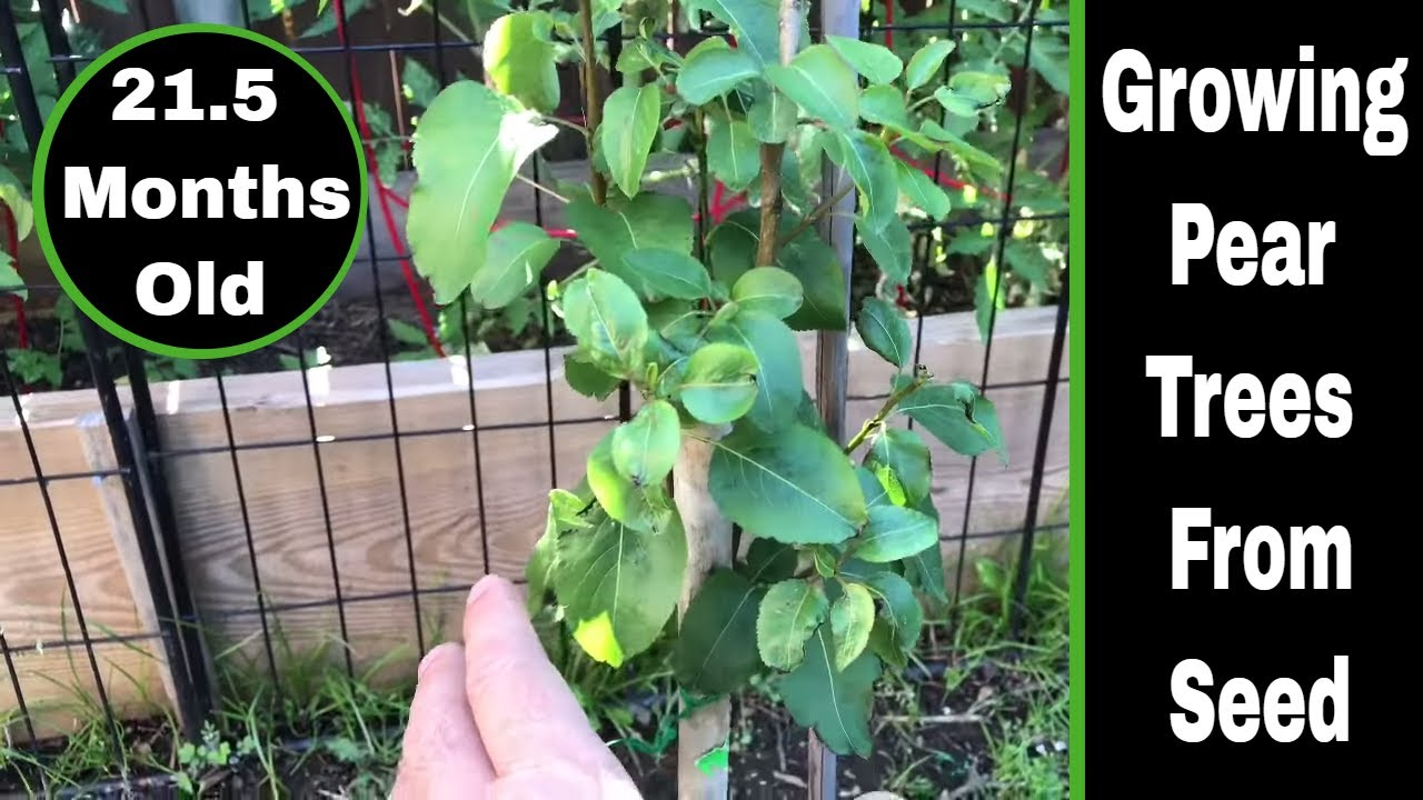 How To Grow Pear Trees From Seed 21 5 Months Old You