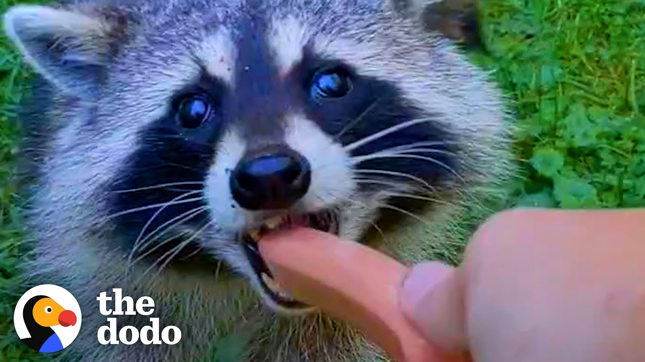 Download Guy Becomes BFFs with Raccoon and Her Baby | The Dodo Wild Hearts