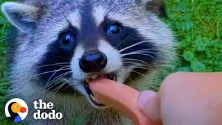 Guy Becomes BFFs with Raccoon and Her Baby | The Dodo Wild Hearts