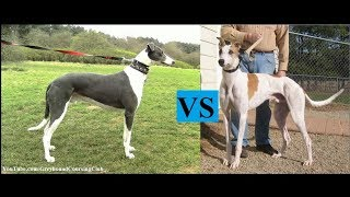 dog racing results   best of racing   Greyhound results   greyhound racing   dog race   saluki