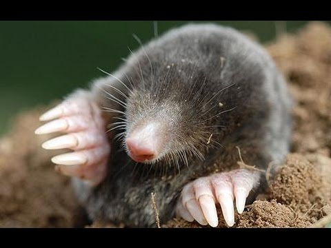 Home Remedies To Get Rid Of Moles In Lawn
