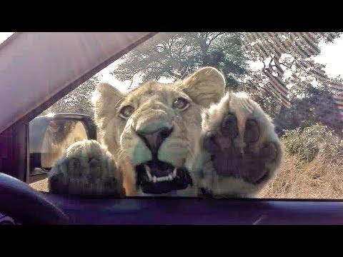 Un león da un buen susto a unos turistas en plena sabana sudafricana