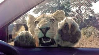 When a Wild Lion Tries to Get Inside Your Car!