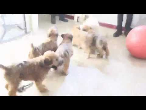 Soft Coated Wheaten Terrier Puppies For Sale