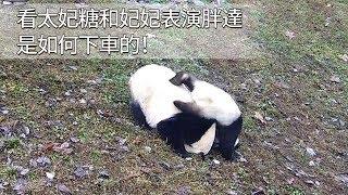 《熊貓早晚安》看太妃糖和妃妃表演胖達是如何下車的!| iPanda