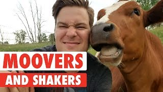 Moovers and Shakers | Cute Cows Compilation
