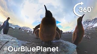 360° Elephant Seals And King Penguin Chicks #OurBluePlanet - BBC Earth