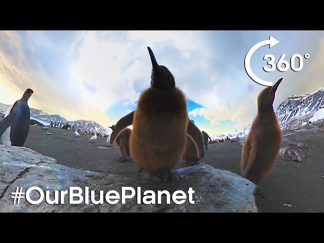 360° Elephant Seals And King Penguin Chicks #OurBluePlanet | BBC Earth