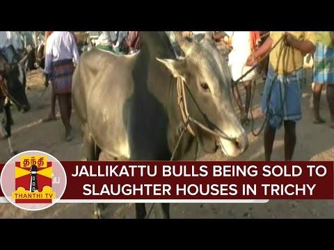 Jallikattu bulls being sold to slaughter houses in Manapparai(Trichy)   Thanthi TV