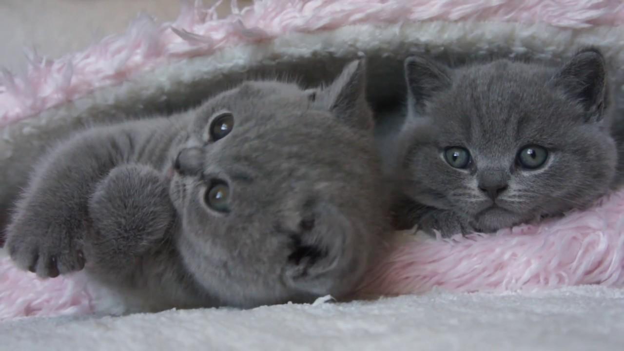 koty brytyjskie Fernandi i Gregory British Shorthair Cattery