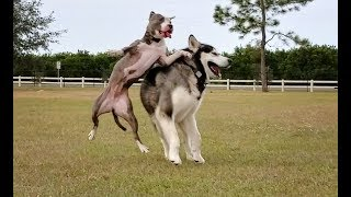 Malamute Meets Pitbull At The Dog Park & The Slow Motion Clips Are Awesome!!